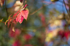 Autumn leaves. Autumn red leaves selective focuse with bokeh effect on the back Stock Image