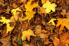 Autumn leaves. Autumn background with dry leaves Royalty Free Stock Photography