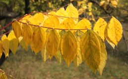 Autumn leaves. Some autumn leaves on a tree Stock Images