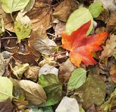 Autumn leaves. Some autumn leaves and a red one Stock Photo