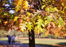 Autumn leaves. On tree,with park in the background Stock Images