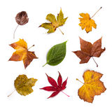 Autumn leaves. Collection beautiful colorful autumn leaves isolated on white background stock illustration