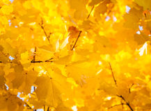 Autumn leaves. Autumn gold, red and yellow leaves, fall Stock Photography