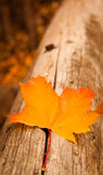 Autumn leaves. Autumn gold, red and yellow leaves, fall Stock Image