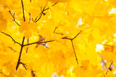 Autumn leaves. Autumn gold, red and yellow leaves, fall Royalty Free Stock Photos