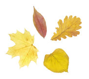 Autumn leaves. On white background stock images
