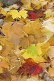 Autumn leaves. Fallen maple leave colorfully cover the ground Royalty Free Stock Photos