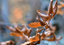 Autumn leaves. Orange colors of autumn in the forest Royalty Free Stock Image