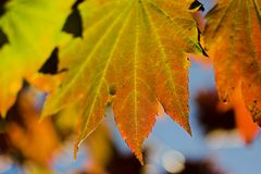 Autumn leaves. Changing colors with blue Royalty Free Stock Image