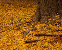 Autumn Leaves. Orange leaves lay fallen around a tree trunk royalty free stock image