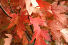 Autumn Leaves. Changing colors stock photos