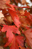 Autumn Leaves. Changing colors royalty free stock photo