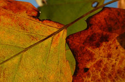 Autumn leaves. Close up of fall colored leaves in different colors Royalty Free Stock Photo