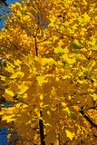 Autumn leaves. Autumn yellow leaves Stock Photos