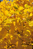 Autumn leaves. Golden autumn leaves Royalty Free Stock Photo