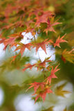 Autumn Leaves. Golden austumn leaves with a Japanese ambience royalty free stock photography
