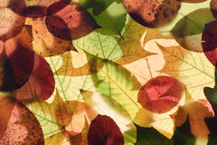 Autumn leaves. On a light background Royalty Free Stock Photo