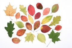 Autumn leaves. On a light background Royalty Free Stock Images