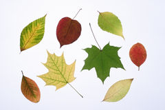 Autumn leaves. On a light background Stock Photography