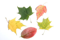 Autumn leaves. On a light background Royalty Free Stock Photos