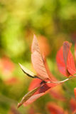 Autumn leaves. On abstract blurred background (very shallow DoF, focus on the first leaf Royalty Free Stock Photo