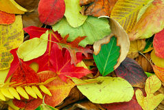 Autumn Leaves. Colorful Autumn leaves from many different trees Stock Image