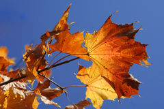 Autumn leaves. Branch of bright yellow maple's leaves over deep blue sky Stock Images