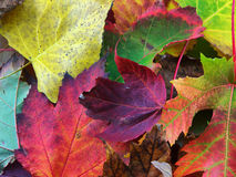 Autumn Leaves. Of multiple colors Stock Images
