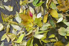 Autumn leaves. In puddle of water Stock Image