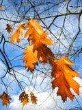 Autumn leaves Royalty Free Stock Photo