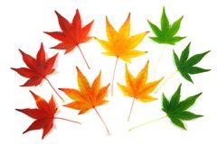 Autumn leaves. Set of Japanese Maple leaves, gradation over a white background Stock Photography