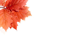 Autumn leaves Royalty Free Stock Image
