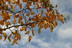 Autumn leaves. Leaves of Juneberrie tree in autumn Stock Photography