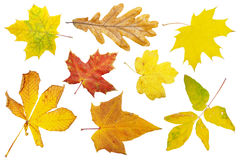Free Autumn Leaves Royalty Free Stock Images - 3523439