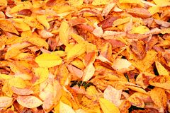 Autumn Leaves. Pile of yellow and red autumn leaves stock image