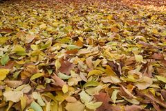 Autumn leaves. In the park royalty free stock photo