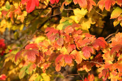Autumn leaves. Bright autumn leaves on a tree Royalty Free Stock Images