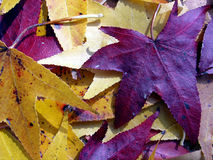 Autumn Leaves. Colorful autumn leaves Royalty Free Stock Photo