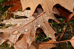Autumn leaves. And morning dew Royalty Free Stock Images