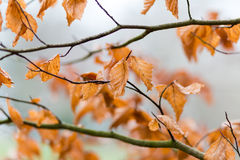 Autumn Leaves Fotografia de Stock Royalty Free