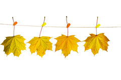 Autumn leaves. Hanging on a clothesline Stock Photos