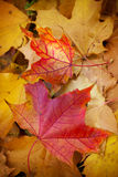 Autumn Leaves Fotografía de archivo libre de regalías