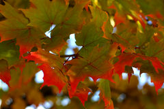 Autumn leaves. Red and green autumn leaves Stock Images
