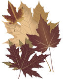Autumn Leaves. Four maple leaves ready for fall promotions or greeting cards Royalty Free Stock Image