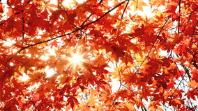 Autumn Leaves almacen de video