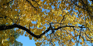 Autumn leaves. Cherry tree Stock Images