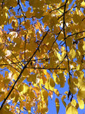 Autumn leaves. Cherry tree Royalty Free Stock Photo