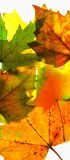 Autumn leaves. Colorful autumn Stock Images