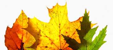 Autumn leaves. Colorful autumn Royalty Free Stock Photo