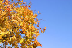 Autumn leaves. Yellow, autumn leaves on the sky Stock Image